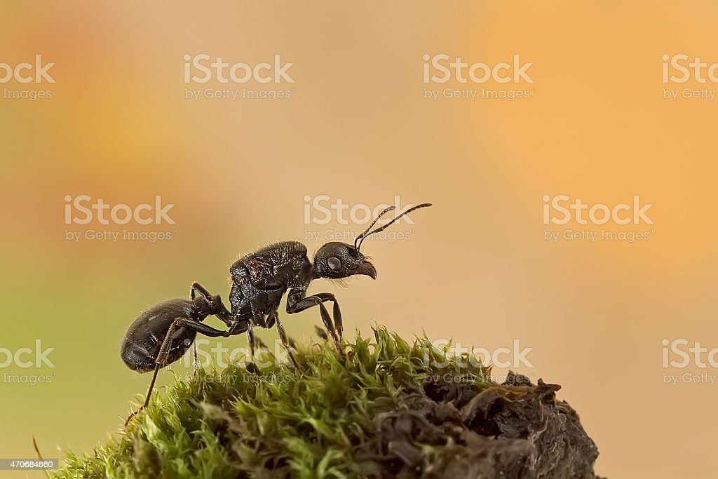 Queen ants stock photo