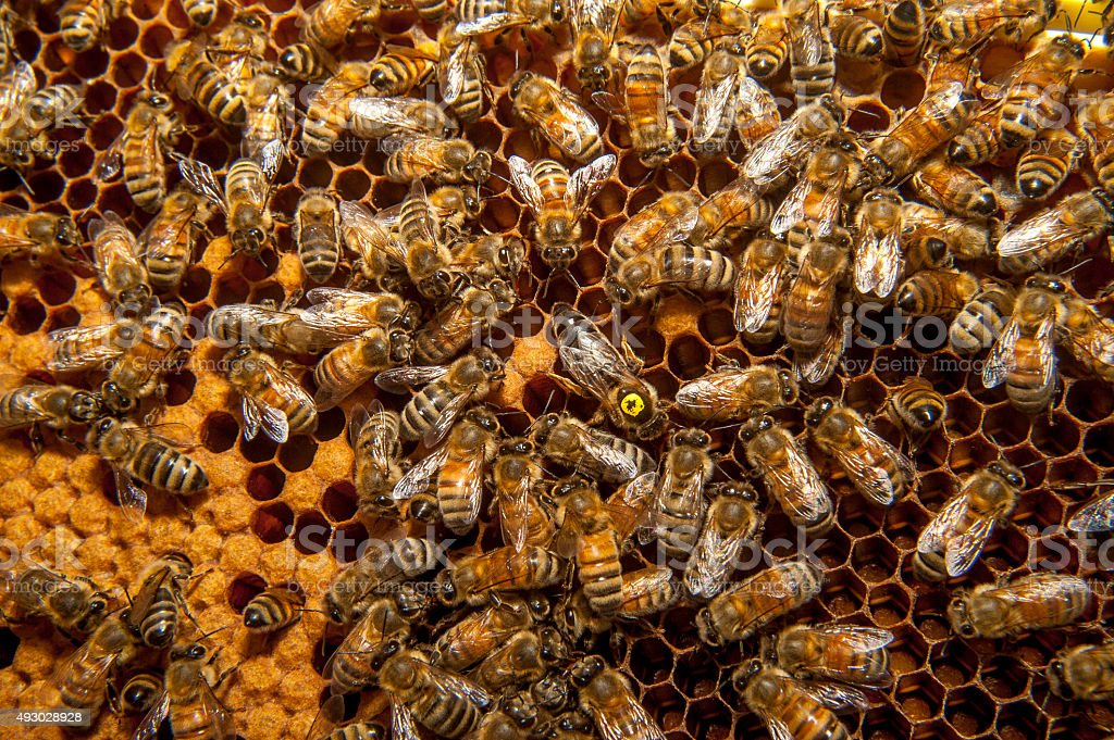 Queen bee among worker bees on honeycomb frame stock photo