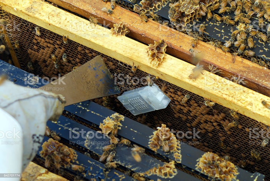 Queen Bee Cage Being Put in Beehive stock photo