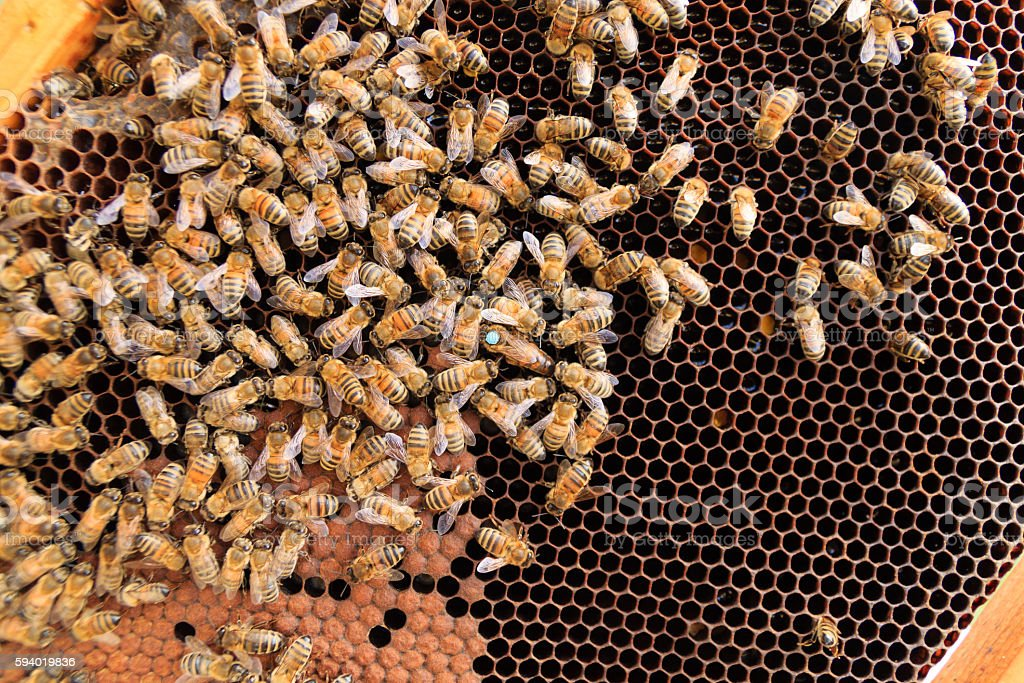Queen bee close up stock photo