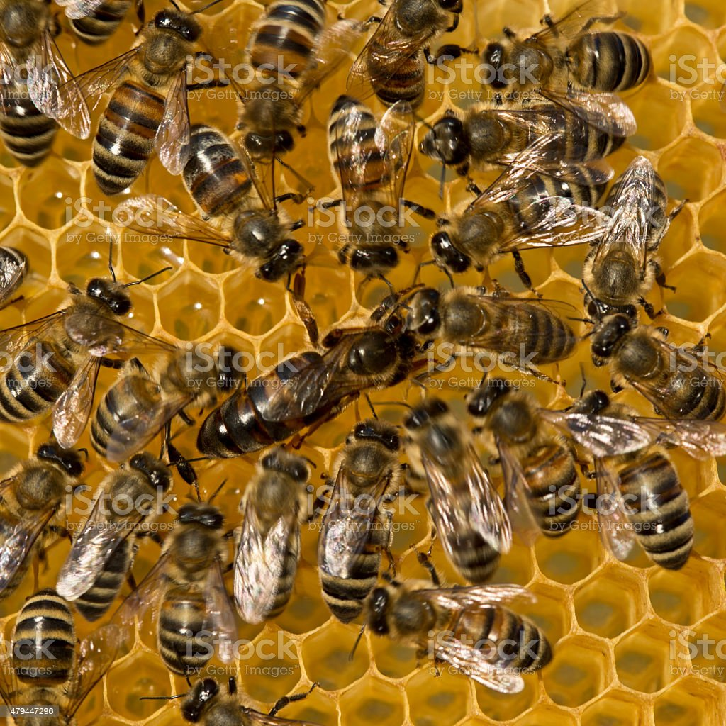 Queen bee lays eggs in cell stock photo