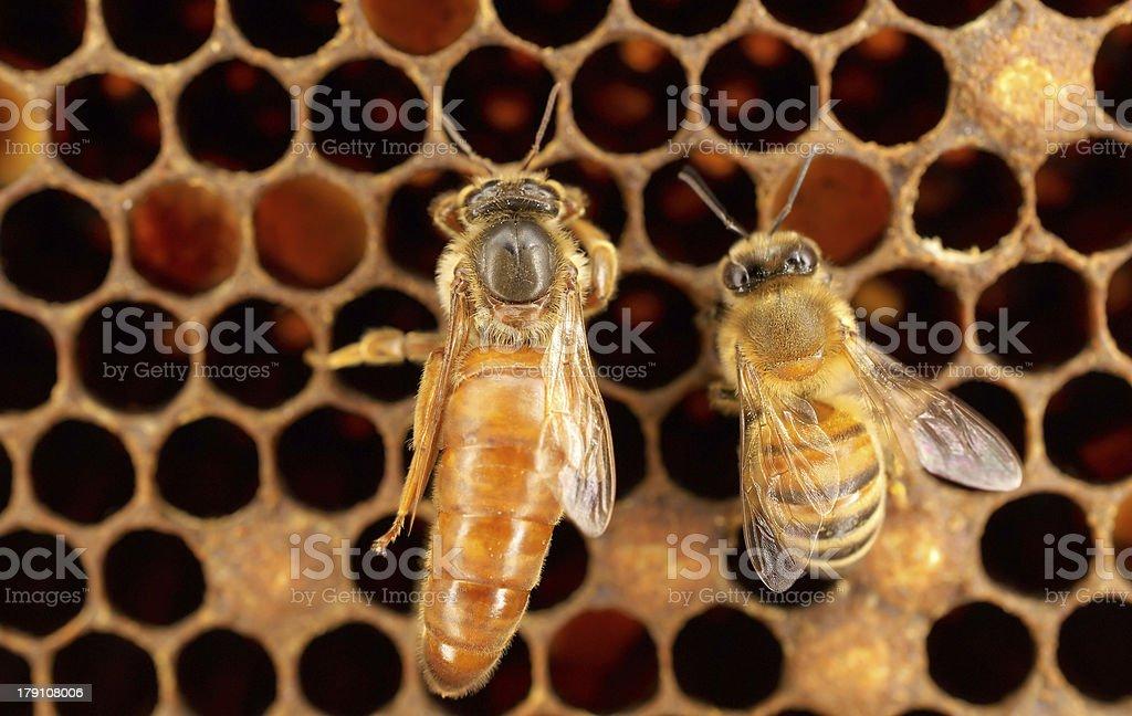 Queen bee stock photo