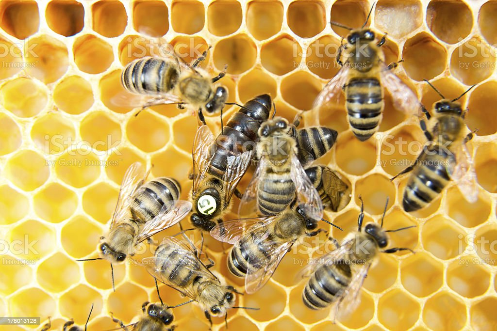 Queen bee surround by worker bees in honey comb hive stock photo