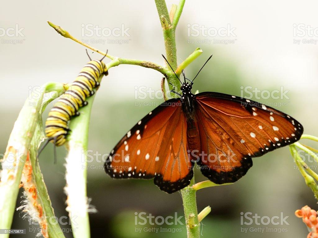 Queen butterfly Danaus gilippus and caterpillar stock photo