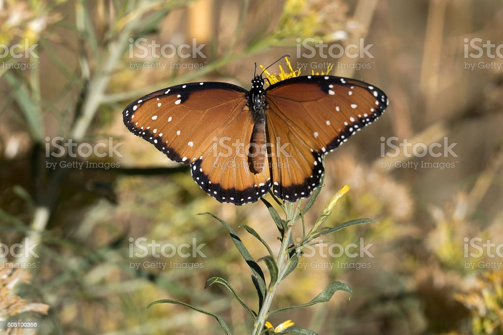 Queen butterfly feeds on rabbit brush nectar in Golden Colorado stock photo