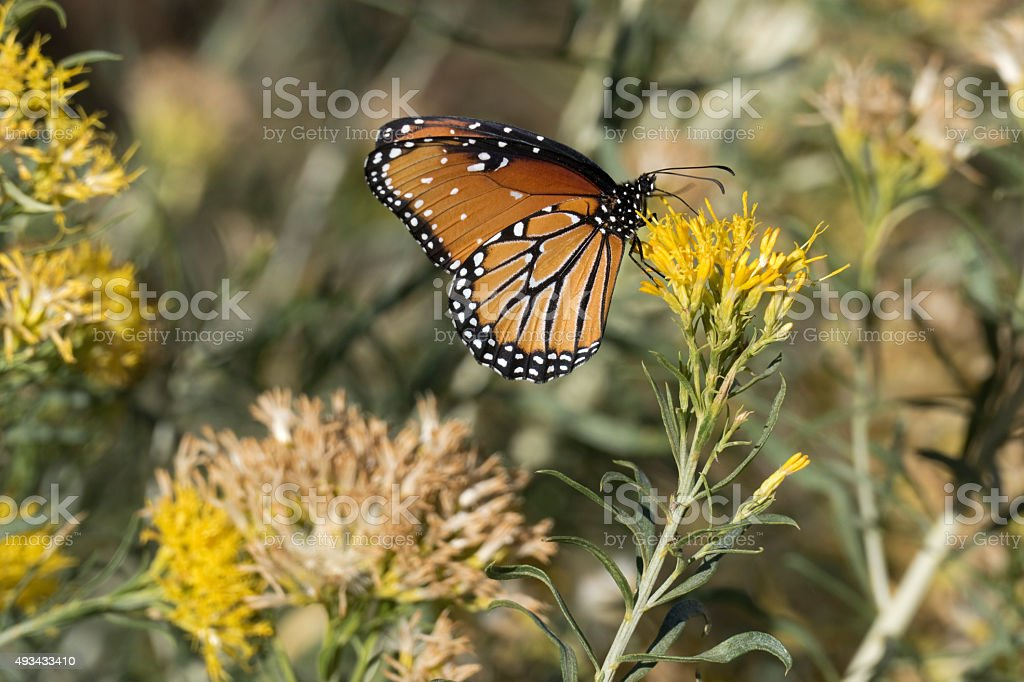 Queen butterfly on rabbit brush in Golden Colorado stock photo