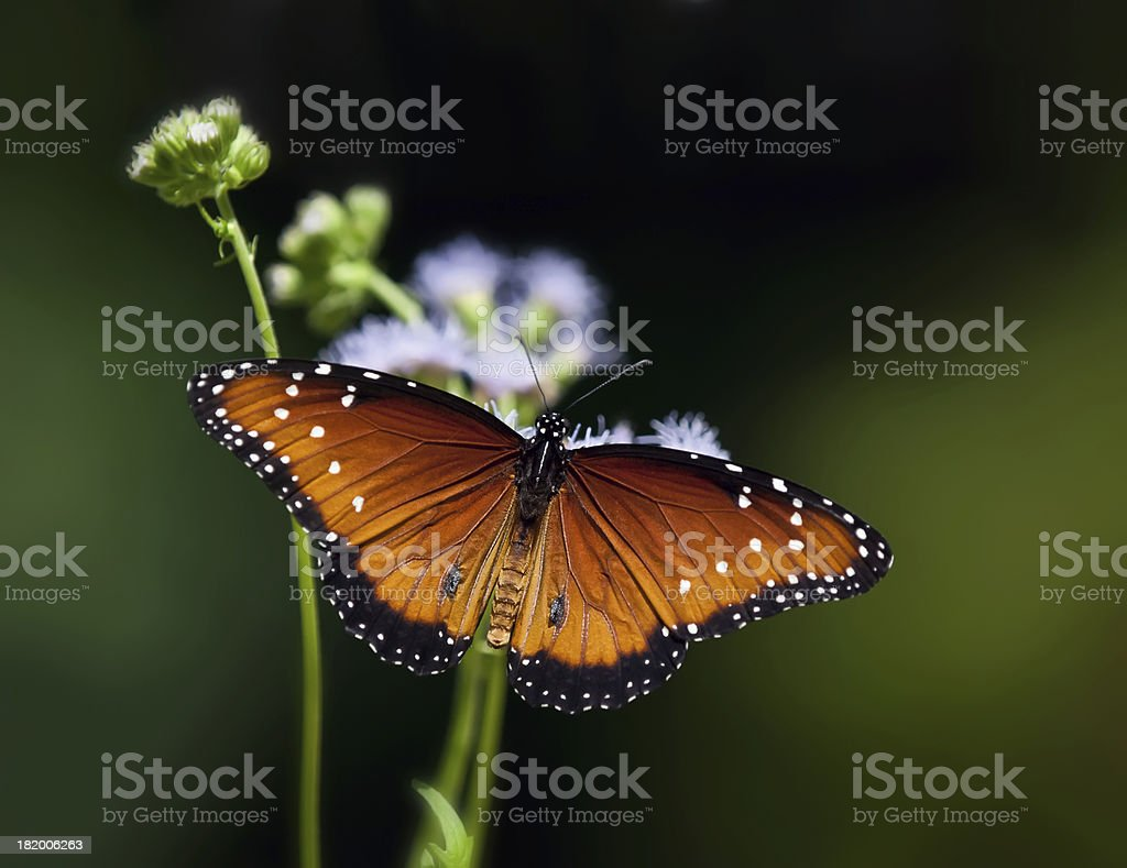 Queen Butterfly royalty-free stock photo
