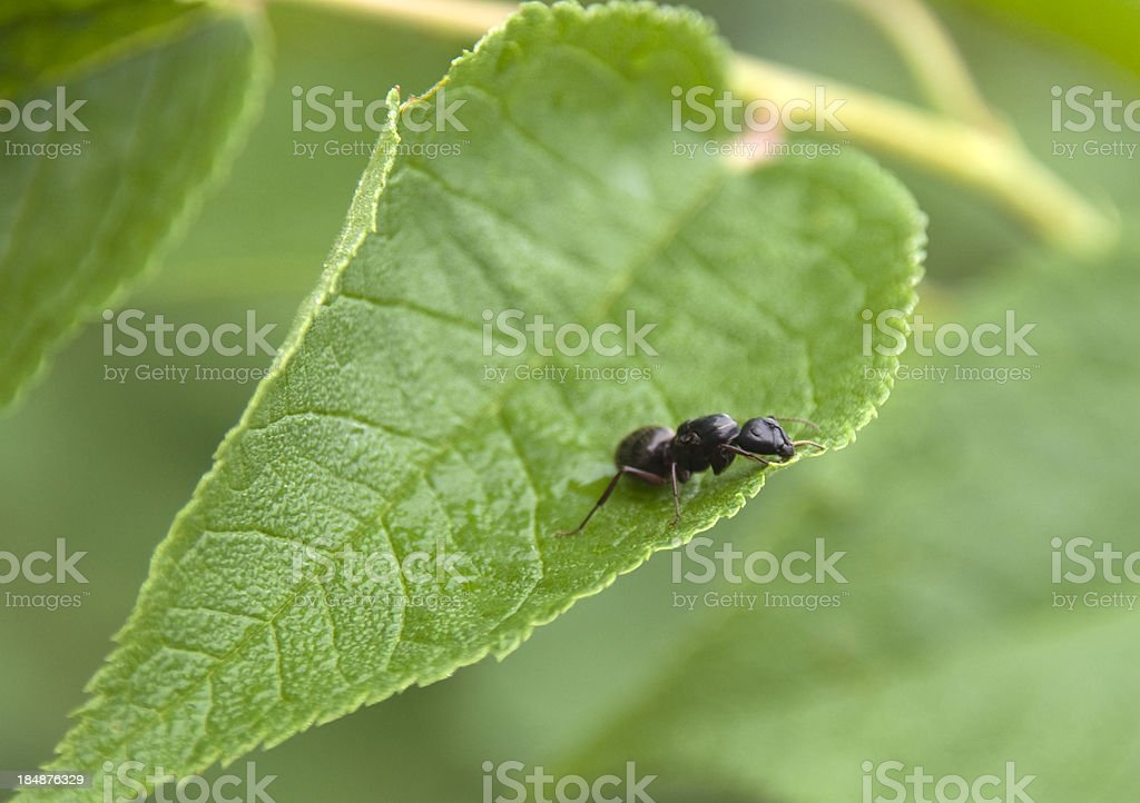 Queen Carpenter Ant on Leaf stock photo