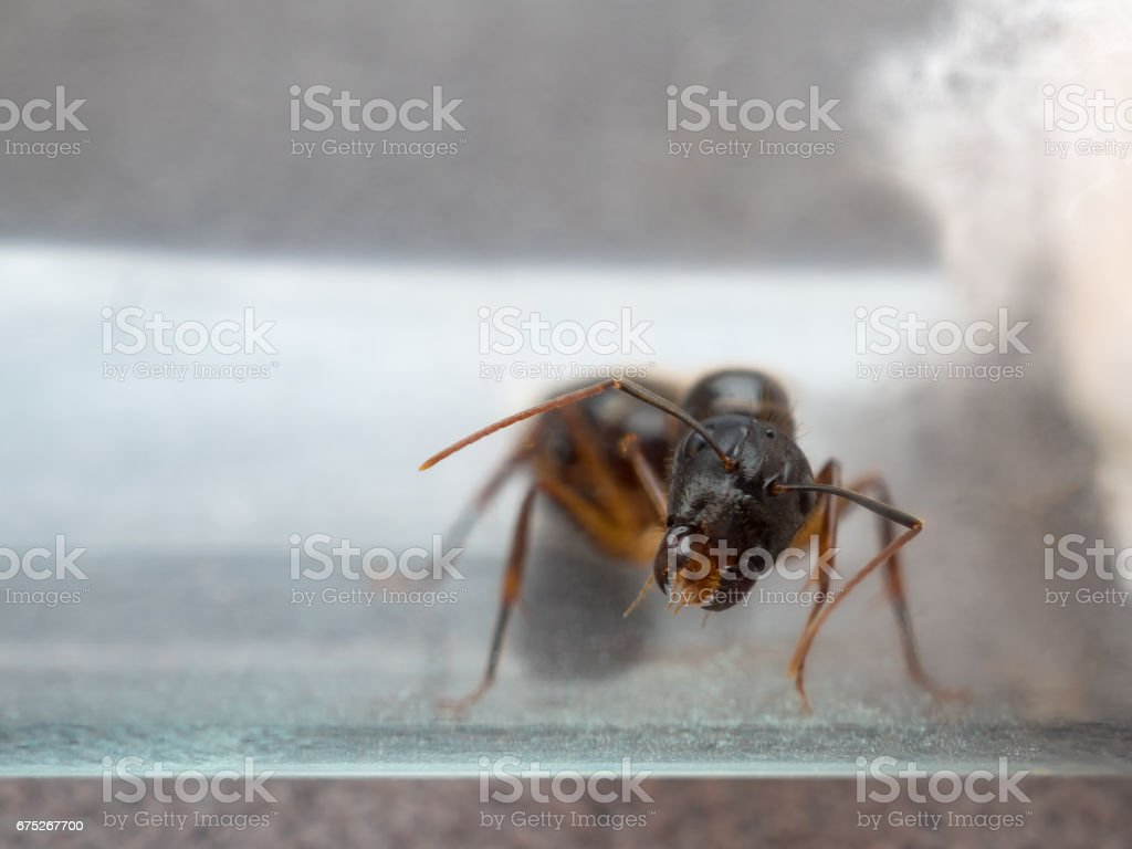 Queen Carpenter ant threaten to prevent eggs stock photo