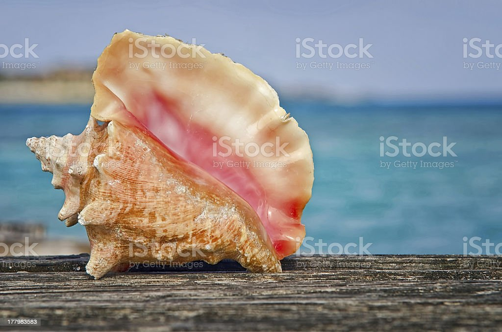 Queen conch on the Dock stock photo