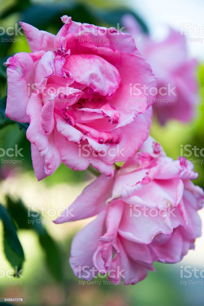 Queen Elizabeth rose stock photo