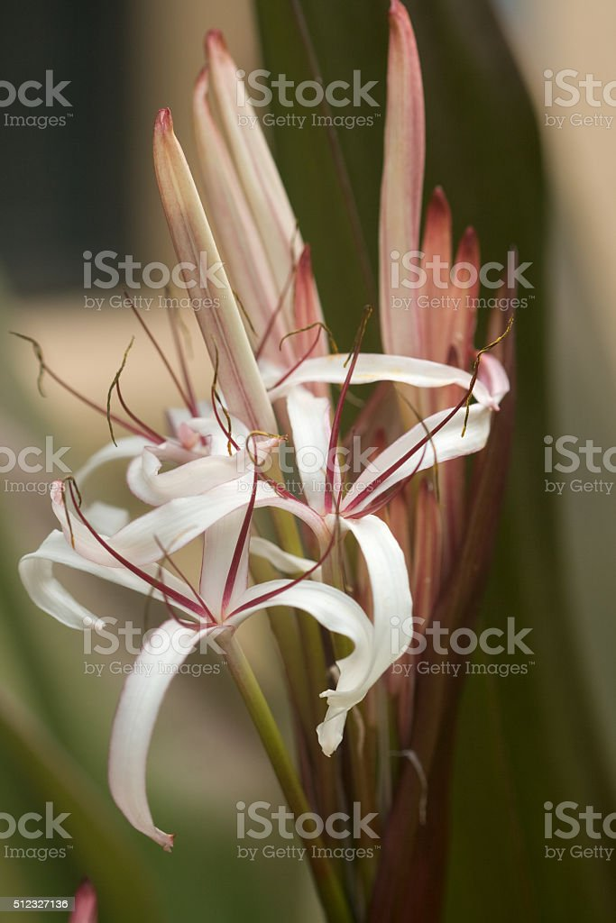 Queen Emma Crinum Lily royalty-free stock photo