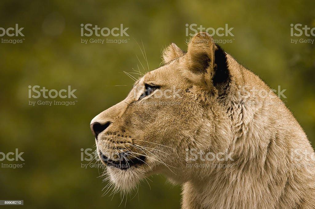 Queen of animals stock photo