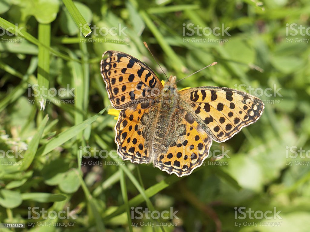 Queen of Spain Fritillary Buttefly on a blade of grass royalty-free stock photo