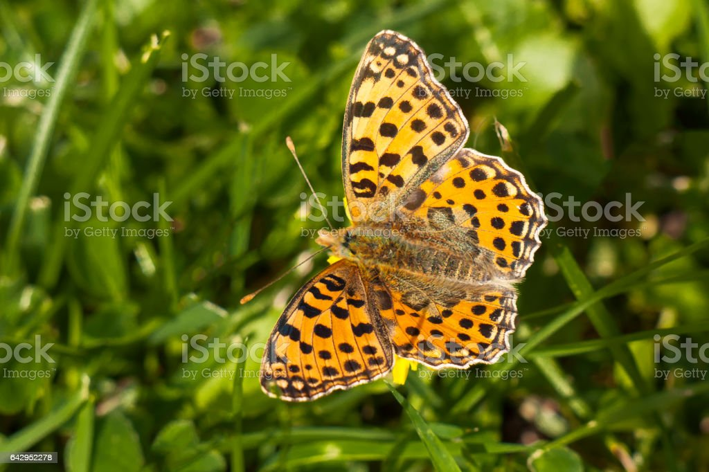 Queen of Spain Fritillary butterfly, Issoria lathonia stock photo