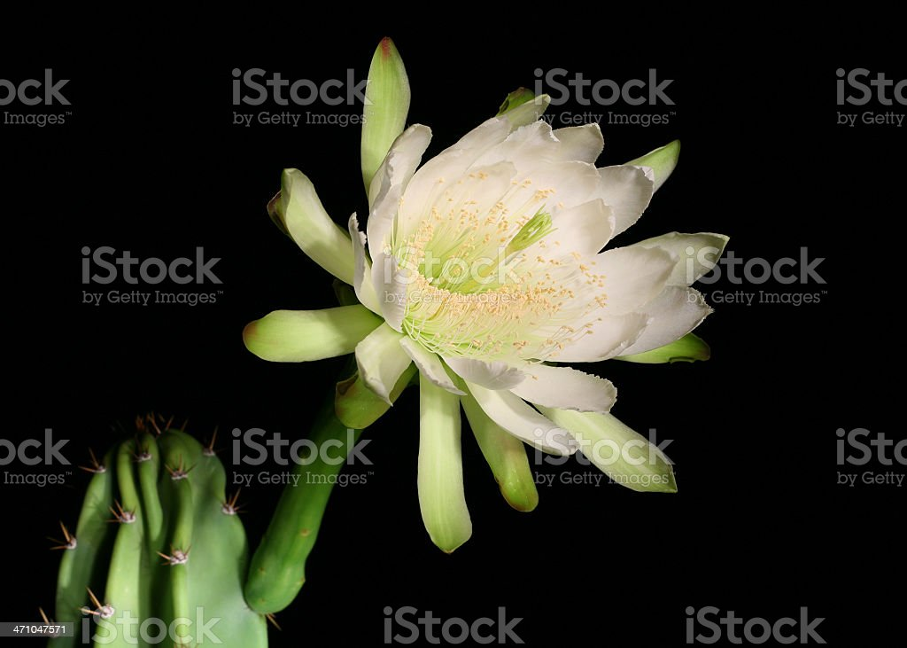 Queen of the night royalty-free stock photo