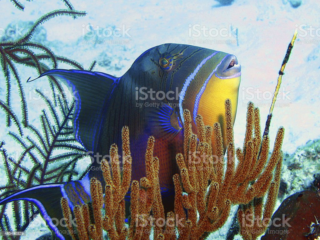 Queen Triggerfish stock photo
