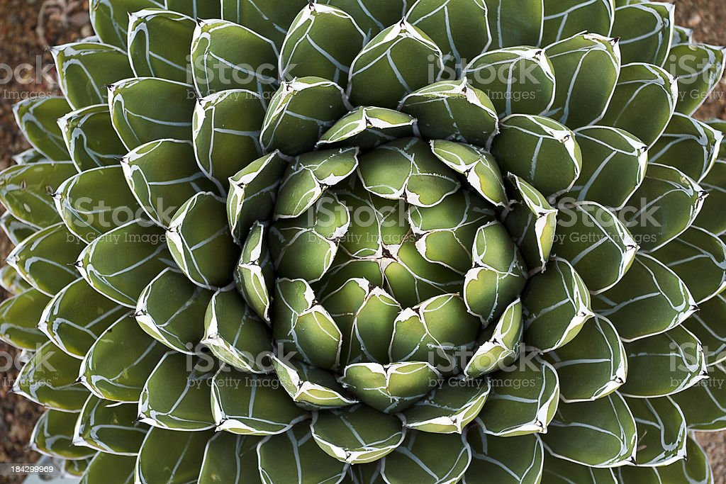 Queen Victoria's Agave stock photo