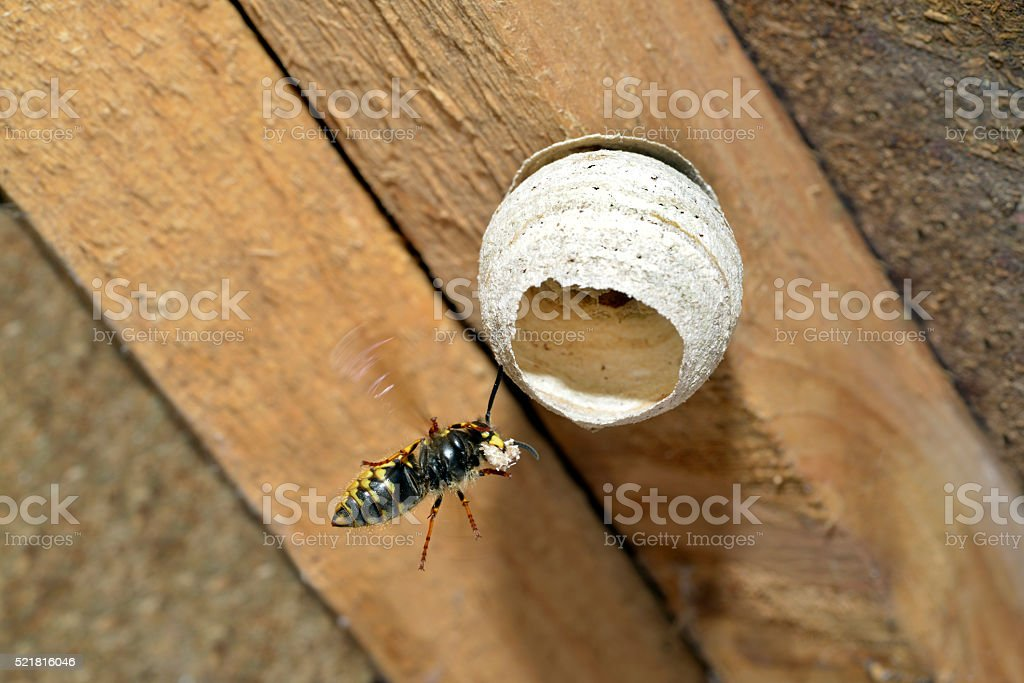 Queen Wasp building a nest. stock photo