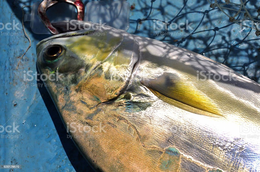Queenfish in the hook and fishing net stock photo