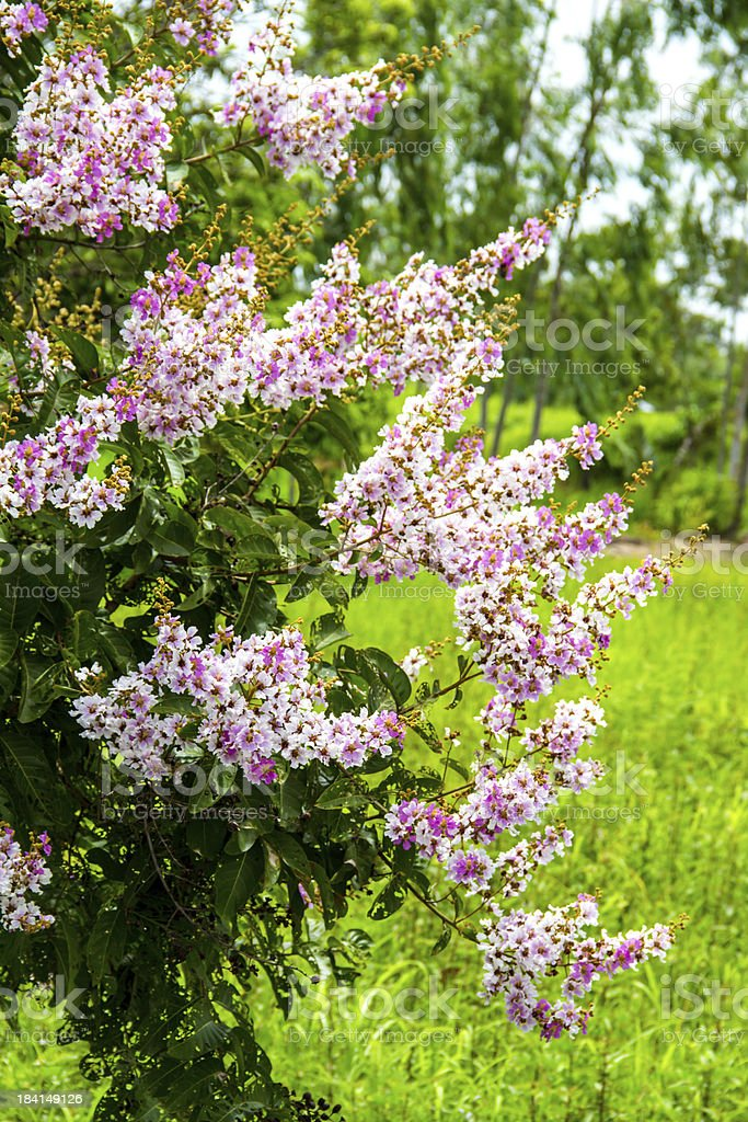 Queens Crape-Myrtle Flower blooming royalty-free stock photo