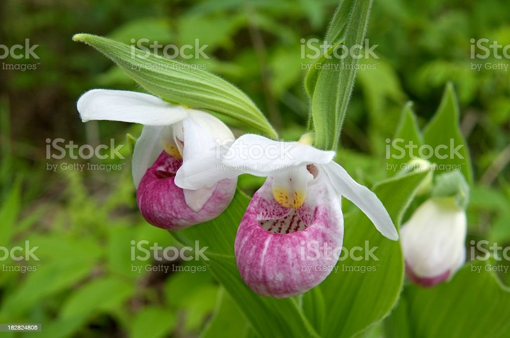 Queen's Lady's Slipper Orchid Bloom stock photo