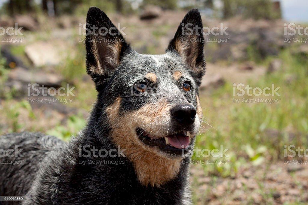 Queensland Blue Heeler headshot with natural background stock photo