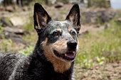 Queensland Blue Heeler headshot with natural background