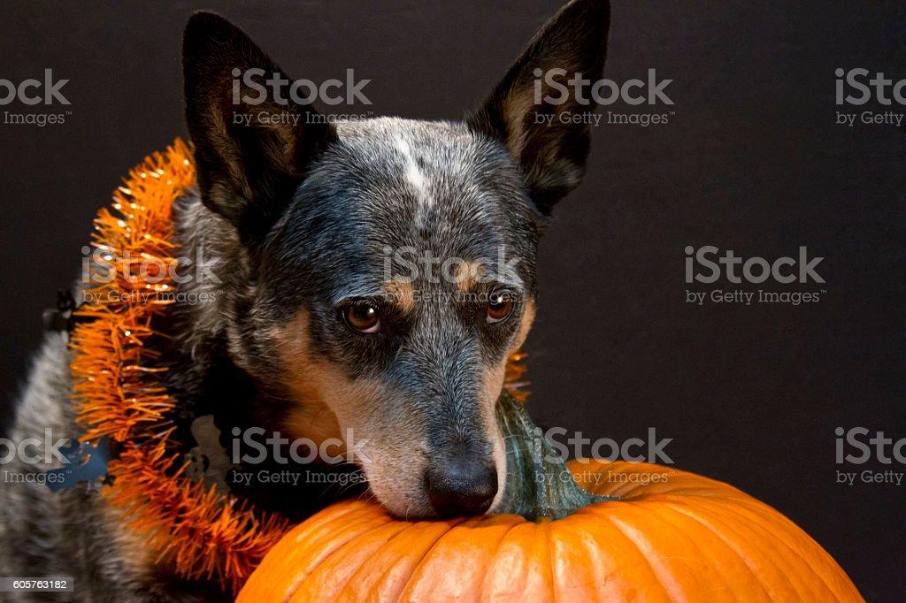 Queensland Blue Heeler with pumpkin on black background stock photo