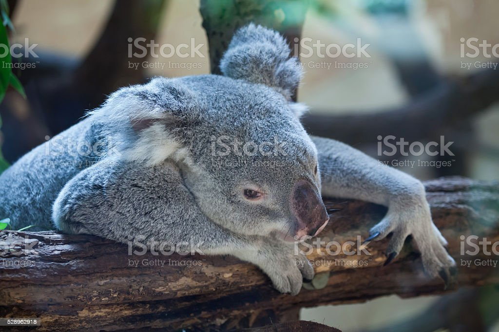 Queensland koala (Phascolarctos cinereus adustus). stock photo