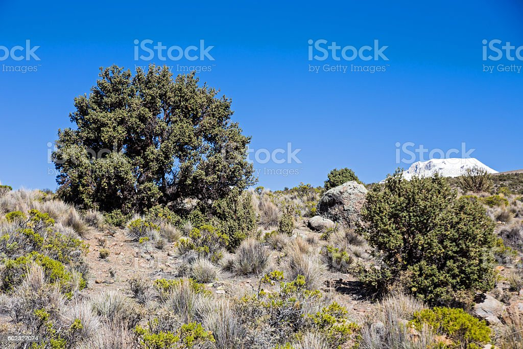 Quenoa forest on Natural Park of Sajama, Bolivia. stock photo