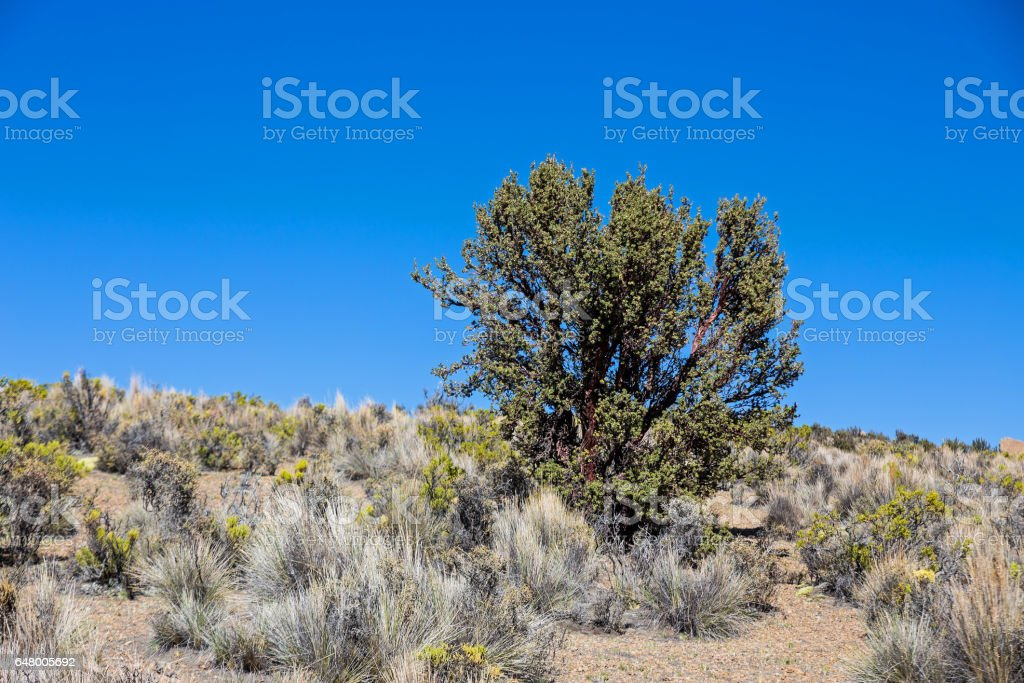 Quenoa forest on Natural Park of Sajama, Bolivia. Sajama National Park is a national park located in the Oruro Department, Bolivia. It borders Lauca National Park in Chile. stock photo