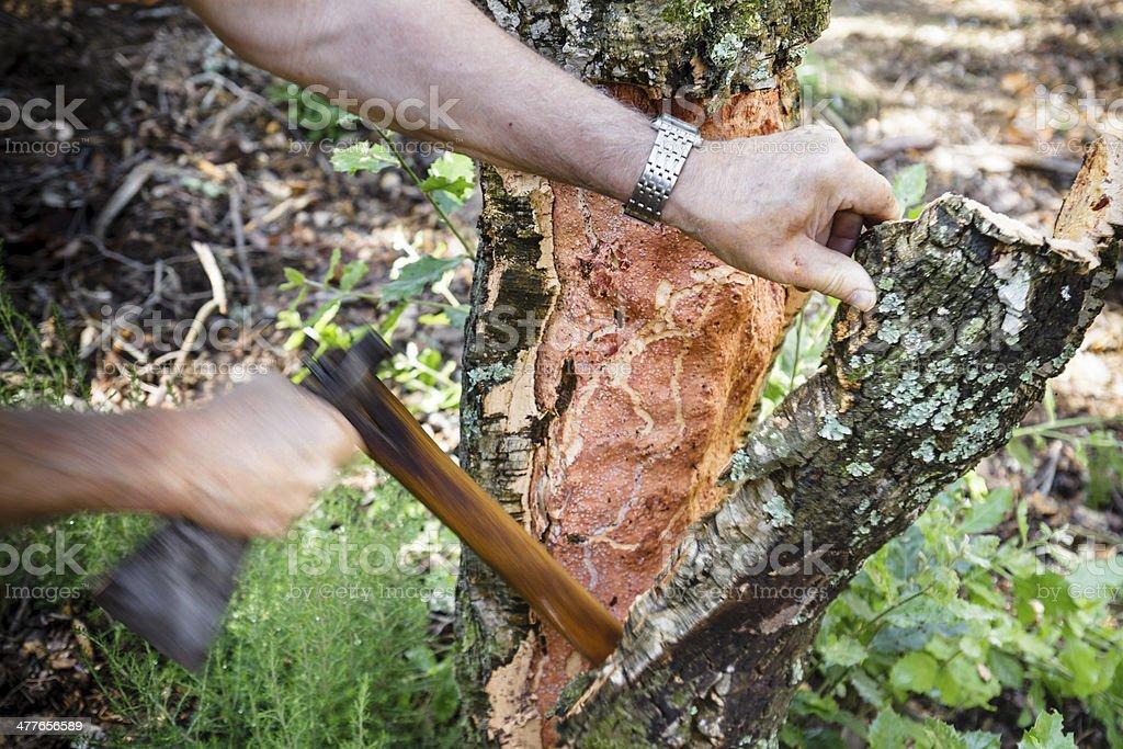 Quercus Suber stock photo