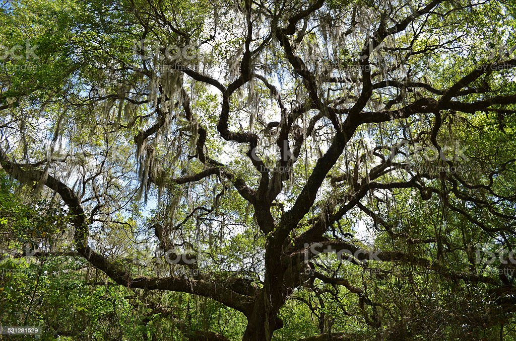 Quercus virginiana (Southern Live Oak) and Spanish Moss stock photo