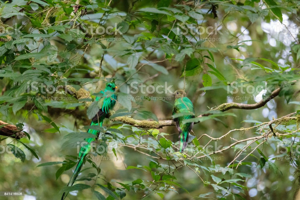 Quetzal birds wild male and female in Monteverde cloud forest reserve...