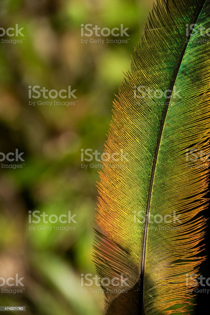 Quetzal's green and golden feather stock photo