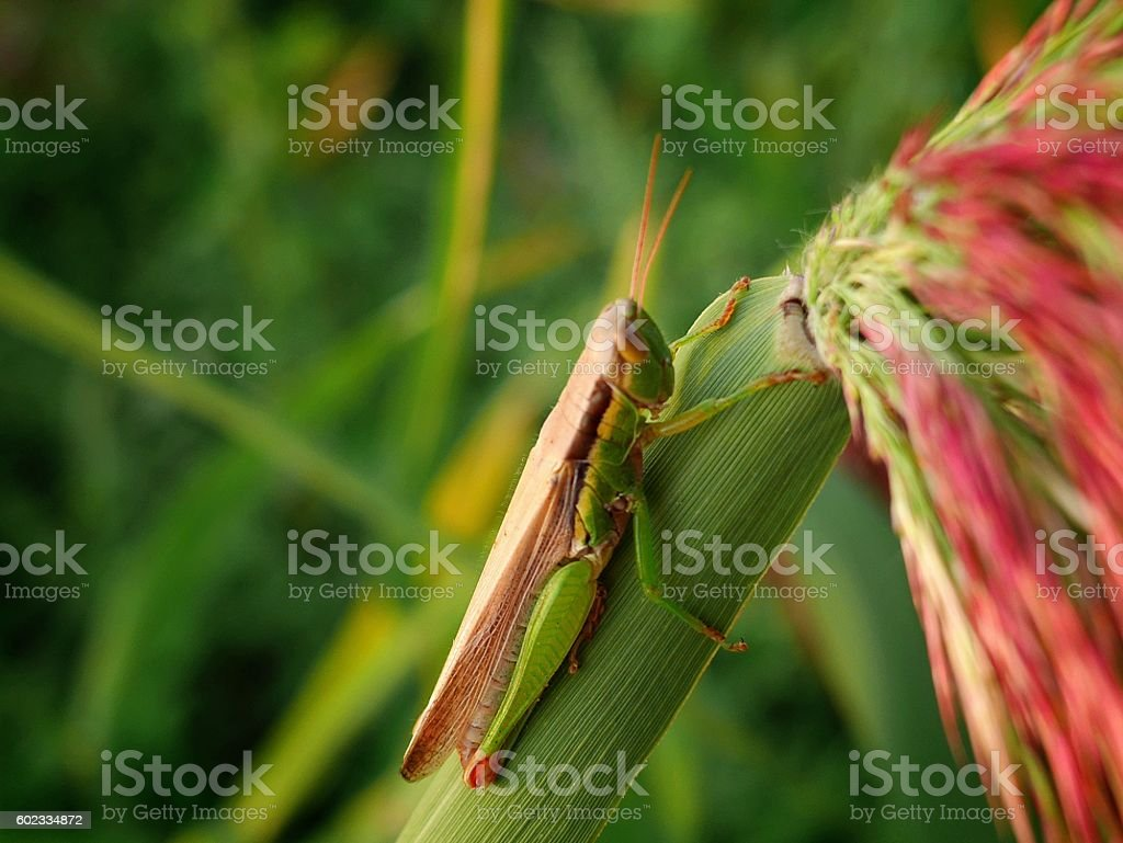 quickly Find the locusts. stock photo