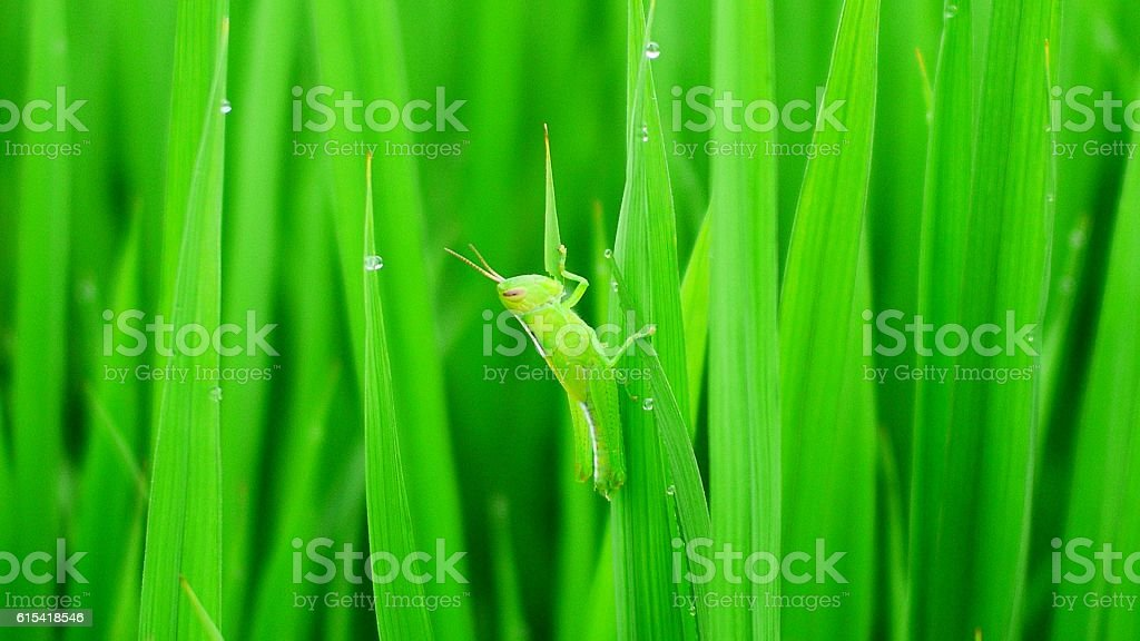 quickly Find the locusts stock photo