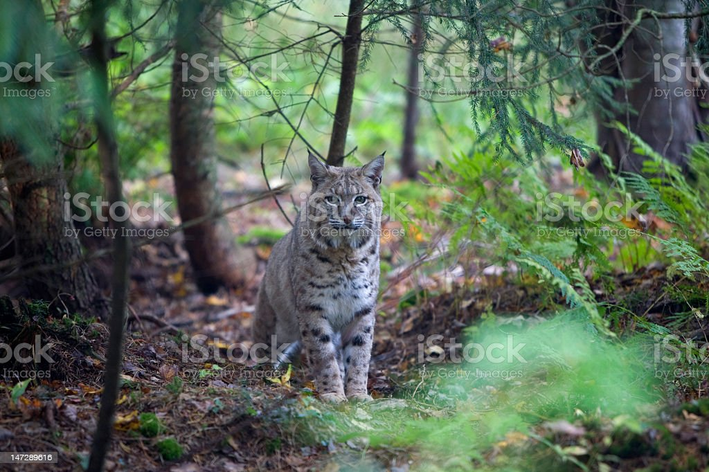 A quickly moving bobcat in a docile forest setting stock photo