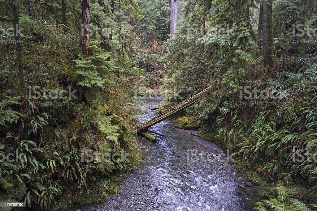 Quinault Rainforest Creek stock photo