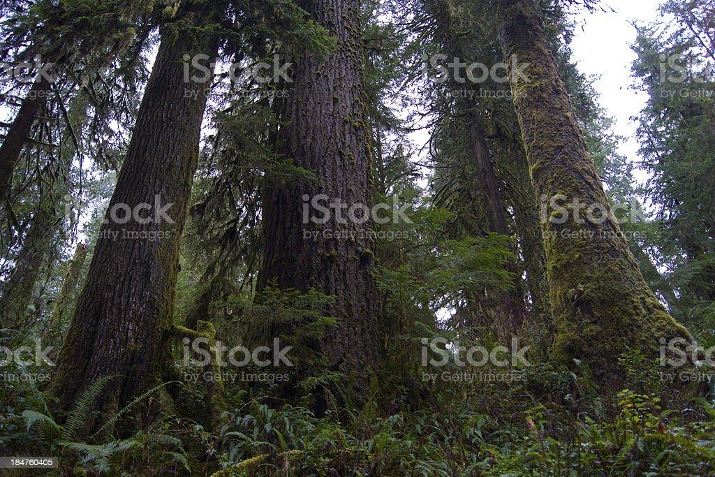 Quinault Rainforest stock photo
