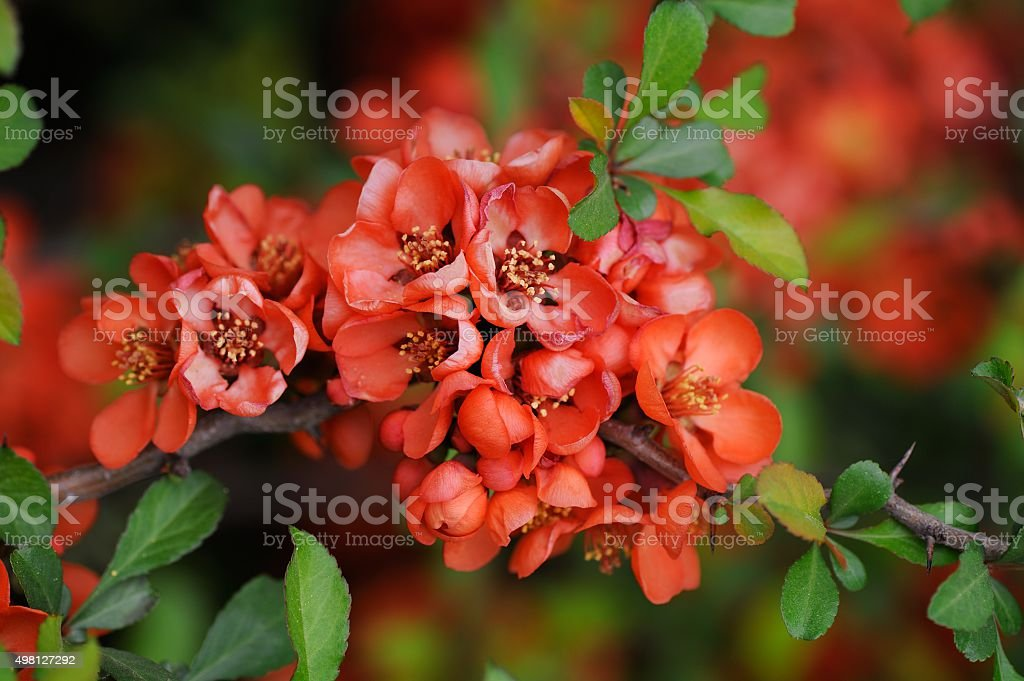 Quince blossom in spring closeup stock photo