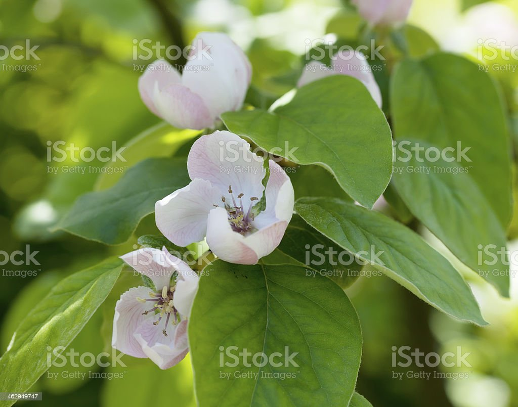 Quince Blossom in Spring (Cydonia oblonga) stock photo