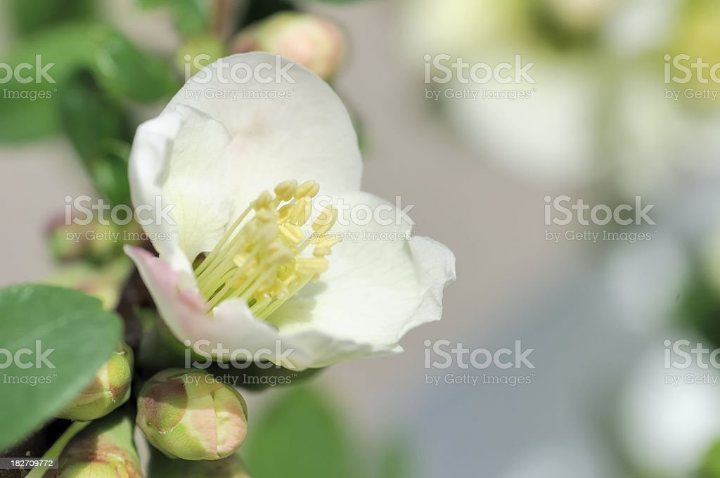 Quince Blossom stock photo