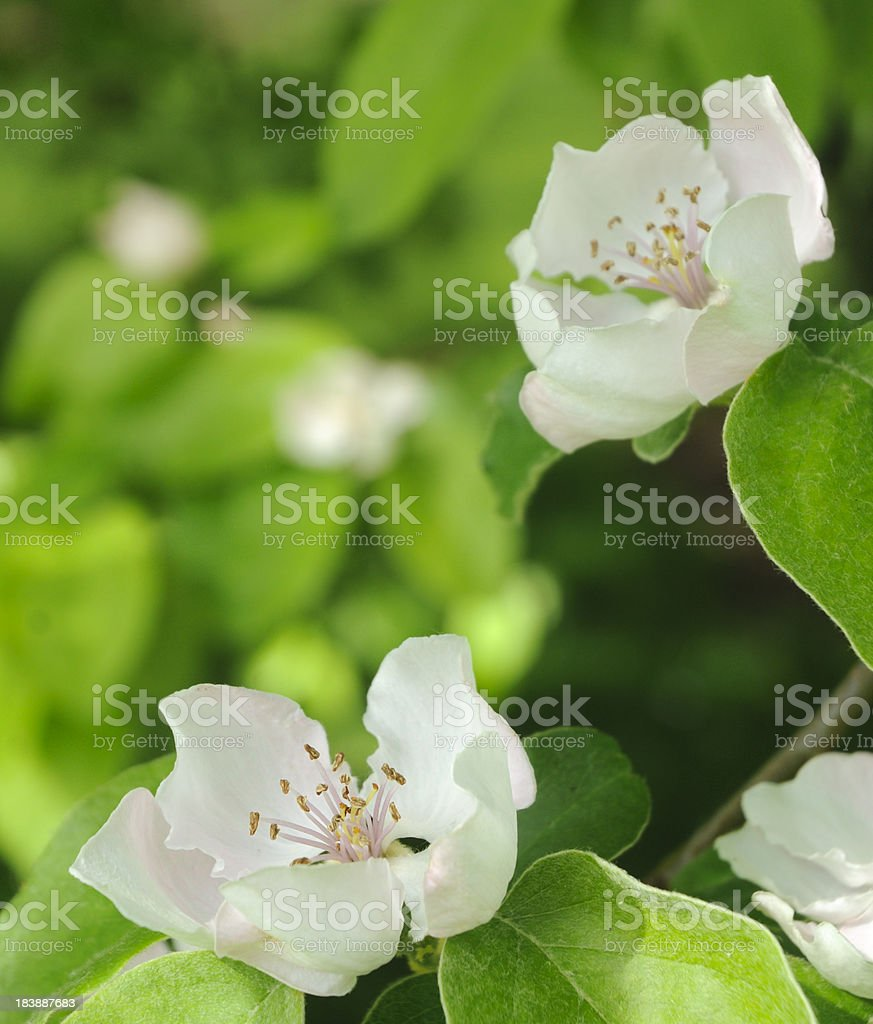 Quince Blossoms in Spring stock photo