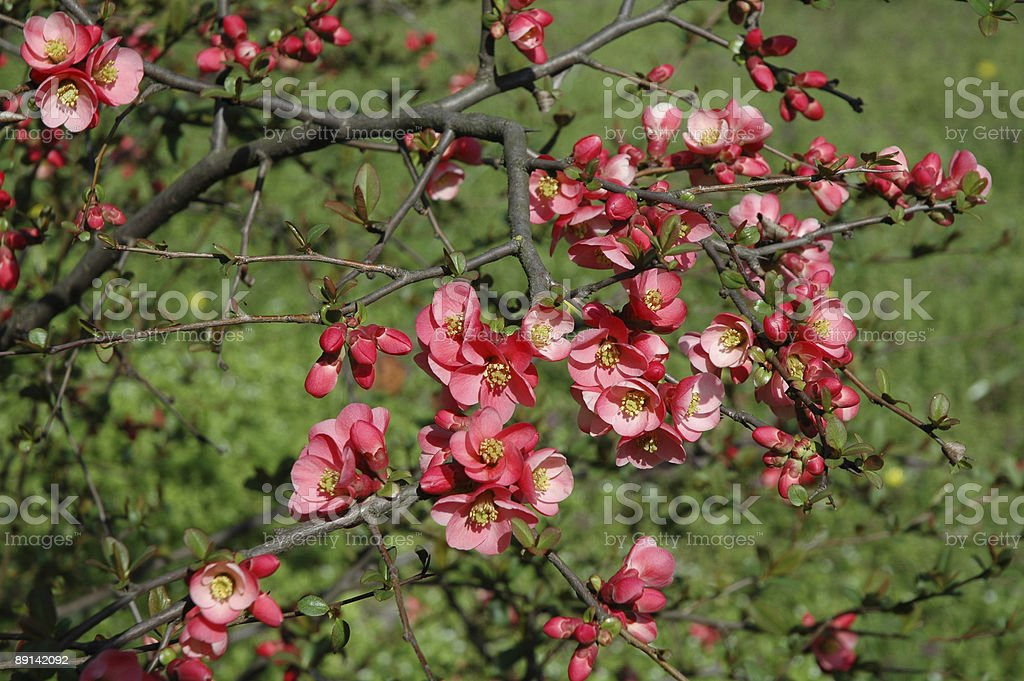 quince blossoms stock photo