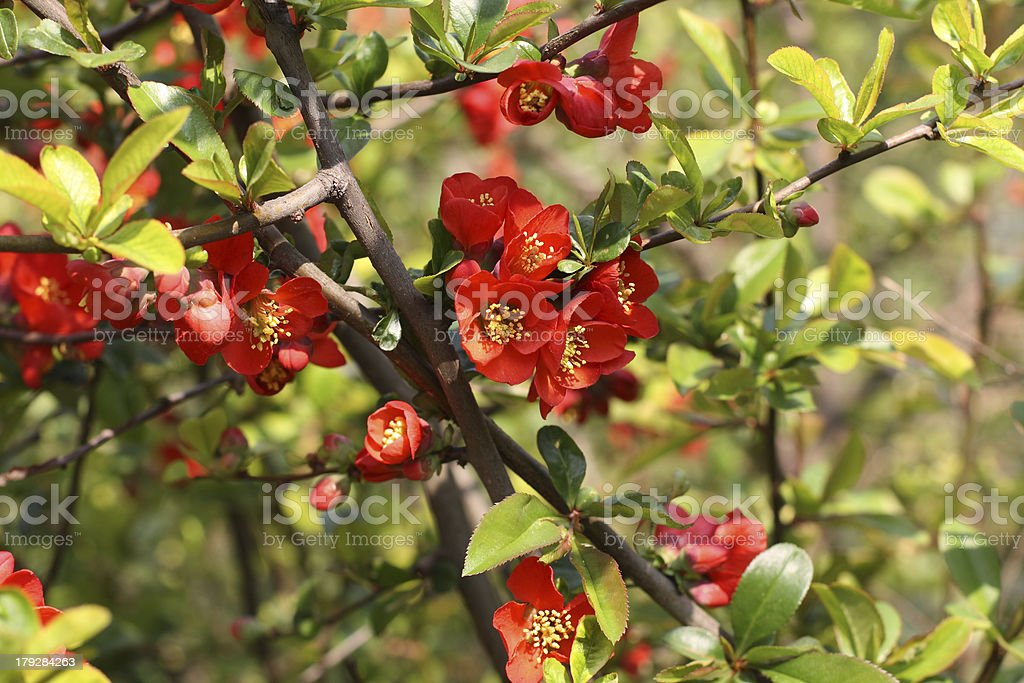 Quince branch royalty-free stock photo