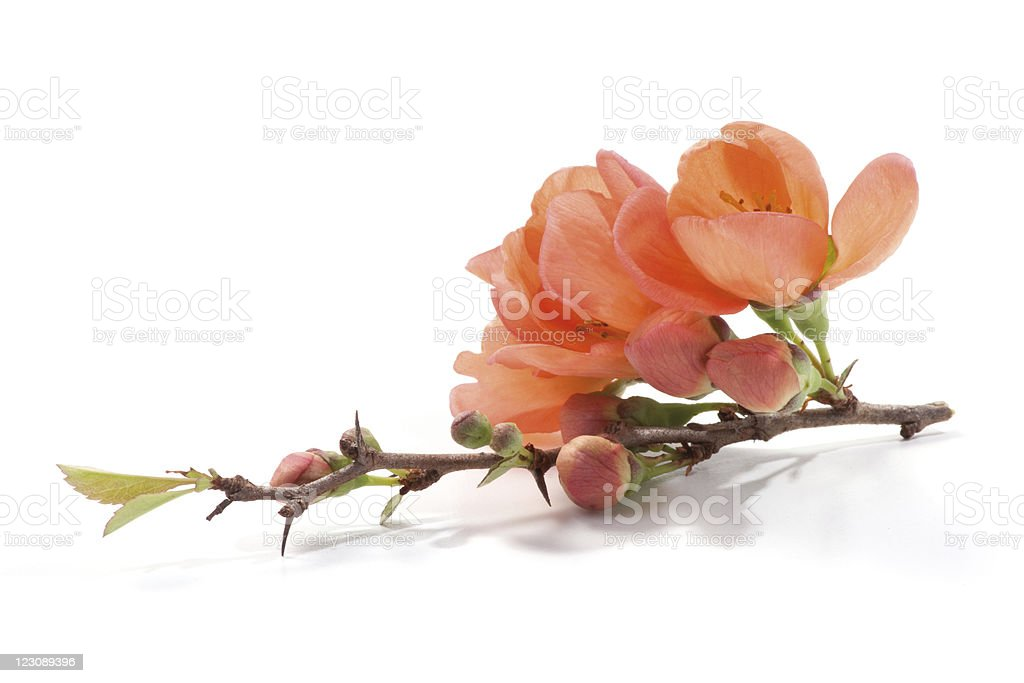 Quince branch with flower royalty-free stock photo