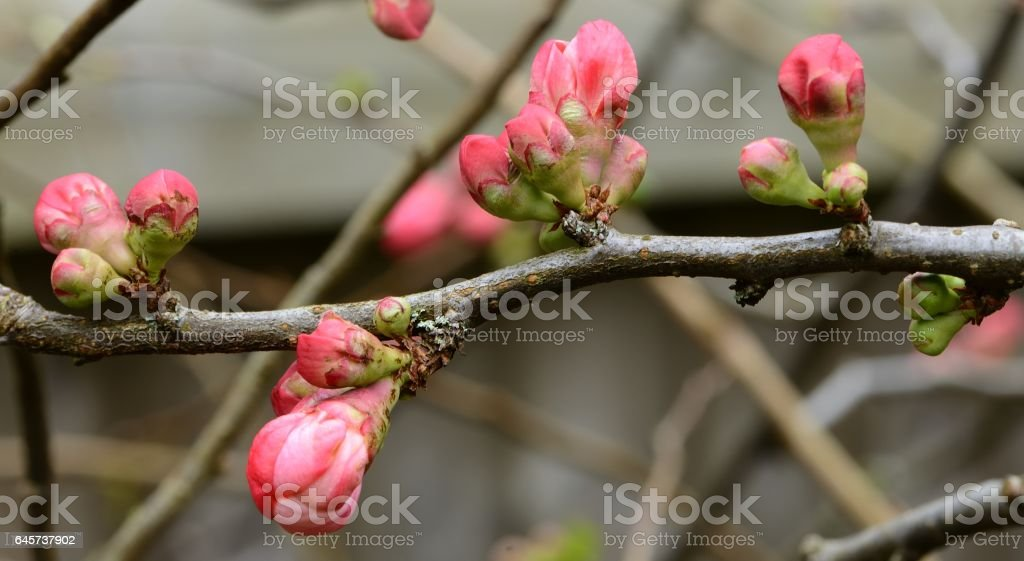 Quince bud stock photo