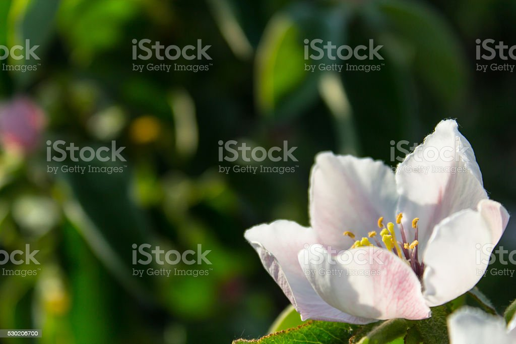 Quince flower blooming around leaves in sunlight stock photo
